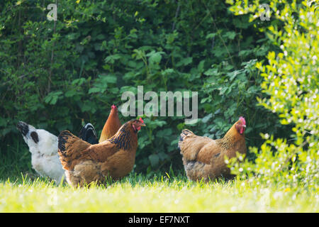 Rooster and chicken walking in nature environment - Stock Photo