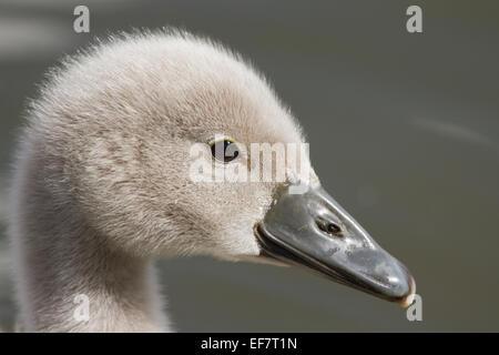 Mute swan cygnet close up portrait. - Stock Photo