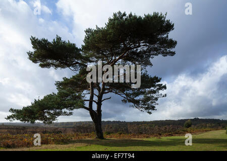 Lone pine tree and heathland views set against a stormy sky at Bratley View in the New Forest National Park, Hampshire, - Stock Photo