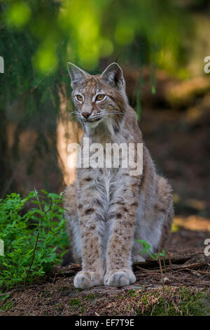 Portrait of European lynx / Eurasian lynx (Lynx lynx) sitting woodland - Stock Photo