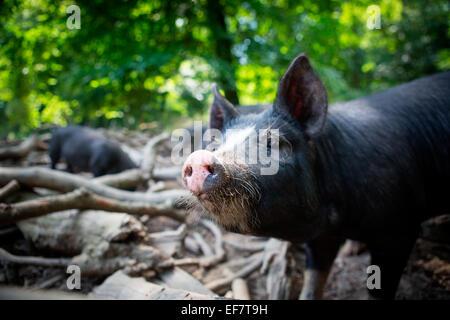 Portrait of free range berkshire piglet in woodland - Stock Photo