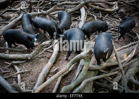 Free range berkshire pigs foraging amongst tree branches - Stock Photo