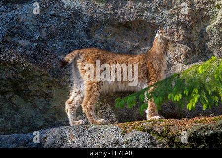 European lynx / Eurasian lynx (Lynx lynx) standing on ledge in rock face - Stock Photo