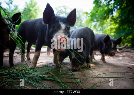 Portrait of free range berkshire piglet eating grass - Stock Photo