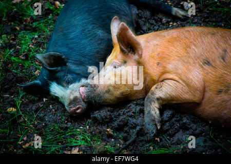Free range berkshire pig and tamworth pig lying together in mud - Stock Photo