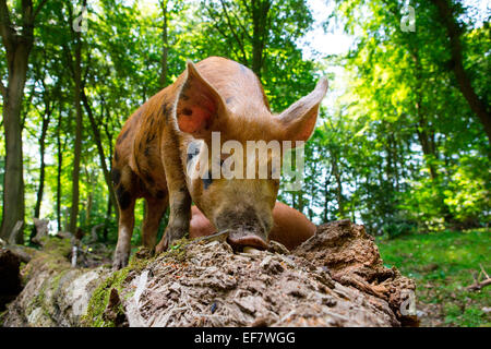 Free range juvenile tamworth pig rooting in forest tree trunk - Stock Photo