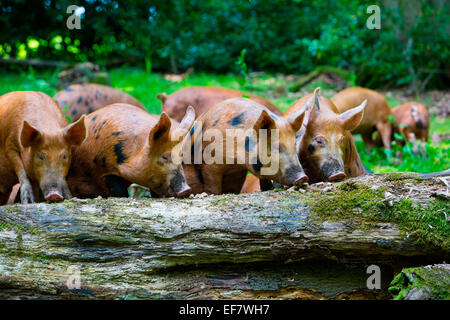 Free range juvenile tamworth pigs rooting in forest tree trunk - Stock Photo