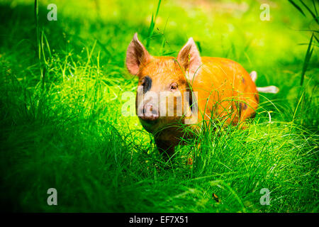 Free range juvenile tamworth pig roaming in sunlit grass - Stock Photo