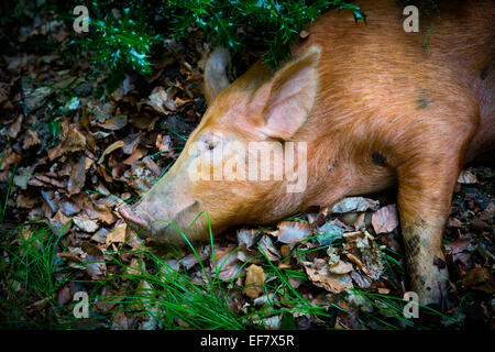 Free range tamworth pig lying on autumn leaves in woodland - Stock Photo