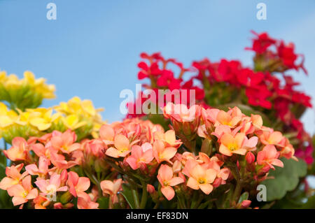 Brilliant red, yellow and salmon colored blooms of Flaming Katy, Christmas Kalanchoe, against clear blue skies - Stock Photo