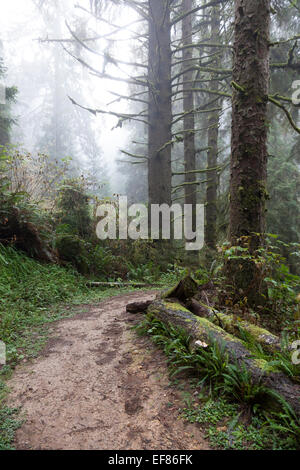 Ossagon Trail on a misty morning - Prairie Creek Redwoods State Park, Humboldt County, North Coast, California, - Stock Photo