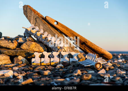 Canada, Nunavut Territory, Beluga Whale bones marking whaler's grave from 1880's at Deadman Island along Hudson - Stock Photo