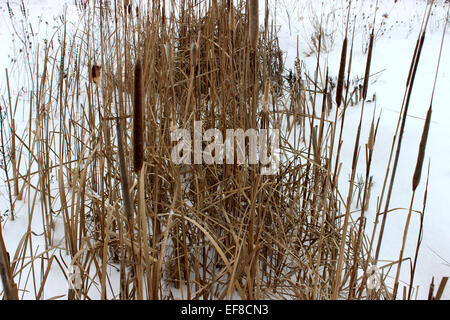 Still indomitable growing wild in the snowy meadows winters in Canada - Stock Photo