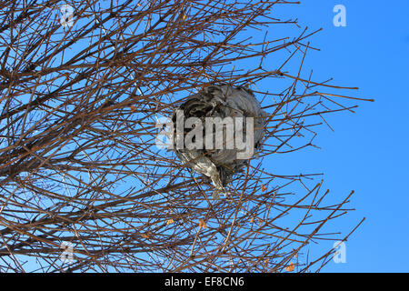 Discovery in a Low-angle shot an abandoned honeycomb in the branches of a tree on a blue winter morning in Canada - Stock Photo