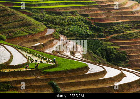 Farmers planting rice on terraces during rainy season near Sa Pa to Lao Cai Road, northern Vietnam - Stock Photo