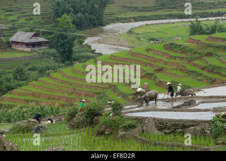 Farmers planting rice in terraces with water buffalo plow. Near Hau Thao village, Sa Pa Lao, Lao Cai Vietnam - Stock Photo