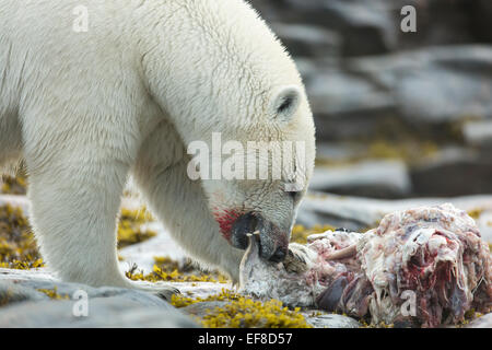 Narwhal Vs Polar Bear Polar bear feeding on ...