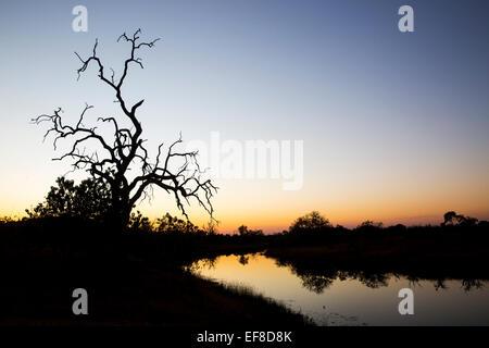 Africa, Botswana, Chobe National Park, Gnarled remains of tree along newly flowing Savuti Channel in Okavango Delta - Stock Photo