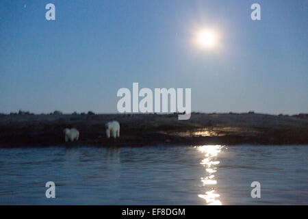 Canada, Nunavut Territory, Blurred image of moon rising behind Polar Bear and cub (Ursus maritimus) feeding on remains - Stock Photo