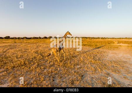 Africa, Botswana, Moremi Game Reserve, Aerial view of Giraffe (Giraffa camelopardalis) in Okavango Delta at sunset - Stock Photo