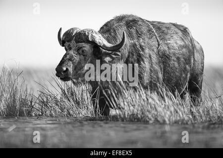 Africa, Botswana, Chobe National Park, Cape Buffalo (Syncerus caffer) feeding on grass along banks of Chobe River - Stock Photo