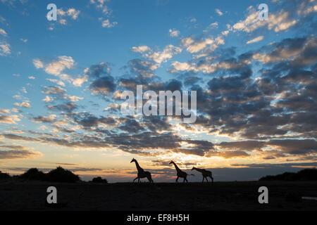 Africa, Botswana, Chobe National Park, Silhouette of Giraffe (Giraffa camelopardalis) running along banks of Chobe - Stock Photo