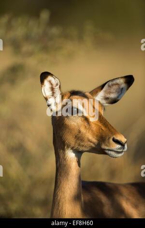 Africa, Botswana, Moremi Game Reserve, Close-up of Impala (Aepyceros melampus)  standing in morning sunshine in - Stock Photo