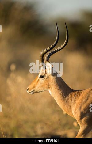Africa, Botswana, Moremi Game Reserve, Close-up of adult male Impala (Aepyceros melampus)  standing in morning sunshine - Stock Photo