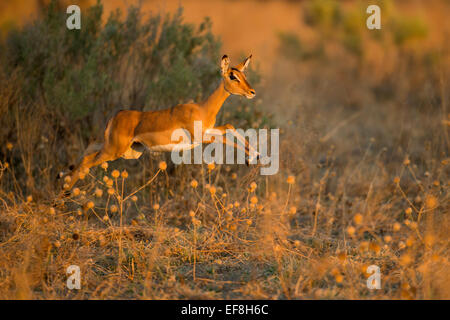Africa, Botswana, Chobe National Park, Impala (Aepyceros melampus) leaping in tall grass in Savuti Marsh in Okavango - Stock Photo