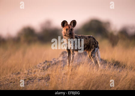 Africa, Botswana, Moremi Game Reserve, Wild Dog (Lycaon pictus) standing in tall grass in Okavango Delta before - Stock Photo