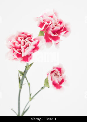 Pink and white carnation. Dianthus caryophyllus, carnation or clove pink - Stock Photo