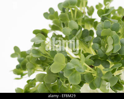 Cress / garden cress. edible herb used in salads - Stock Photo