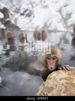 Japanese snow monkeys bathing in hot spring pools at Jigokudani Onsen, Nagano Prefecture, Japan - Stock Photo