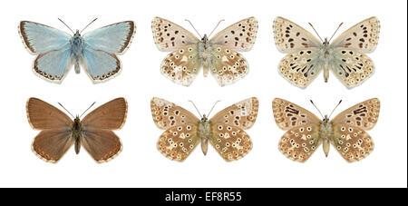 Chalkhill Blue - Polyommatus coridon - male (top row; far right = aberration) - female - (bottom row; far right - Stock Photo