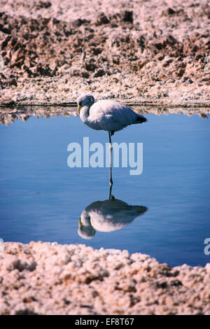 Flamingo standing on one leg in lake, Atacama desert, Chile - Stock Photo