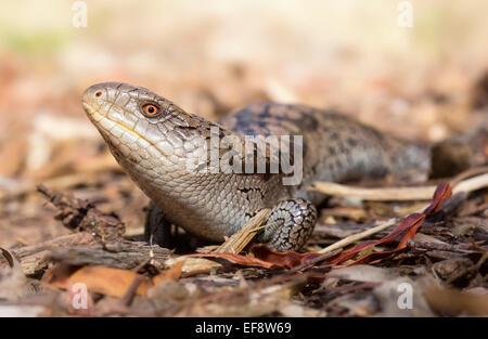Australia, Blotched blue-tongue lizard crawling on ground - Stock Photo