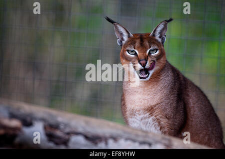 Close-up portrait of an Lynx in forest - Stock Photo