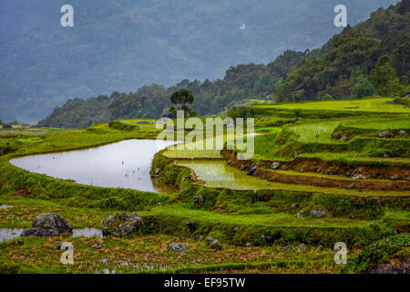 Rice terraces in Toraja, Celebes. - Stock Photo