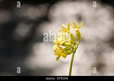 Common cowslip (Primula veris) close up with backlight reflections. - Stock Photo