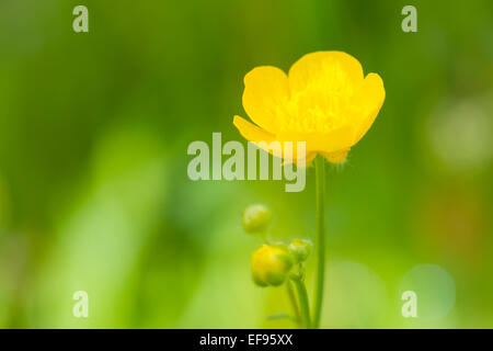 Meadow Buttercup (Ranunculus acris) flower close up, with shallow depth of field, French alps. - Stock Photo