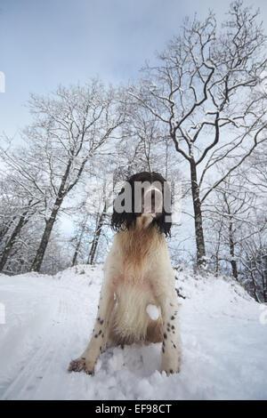 Glencreran, Argyll, Scotland, UK. 29th January, 2015. UK Weather: Bailey, an English Springer Spaniel enjoying playing - Stock Photo
