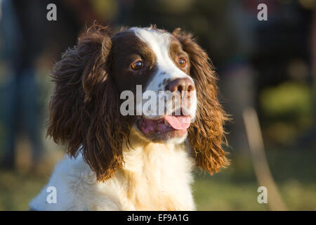 A liver and white English Springer Spaniel on a pheasant shoot in England. January 2015. - Stock Photo