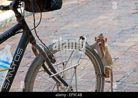 Juvenile long-tailed macaque / crab-eating macaque (Macaca fascicularis) clinging on bicycle wheel in Thailand - Stock Photo