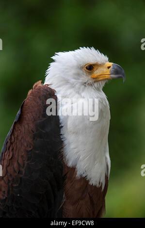 Close up of African Fish Eagle / African Sea Eagle (Haliaeetus vocifer) native to sub-Saharan Africa - Stock Photo
