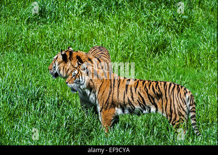 Two Bengal tigers (Panthera tigris tigris) native to India, Bangladesh, Nepal and Bhutan looking for prey in grassland - Stock Photo