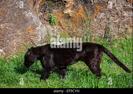 Black panther / melanistic jaguar (Panthera onca) with spots still visible, native to Central and South America - Stock Photo