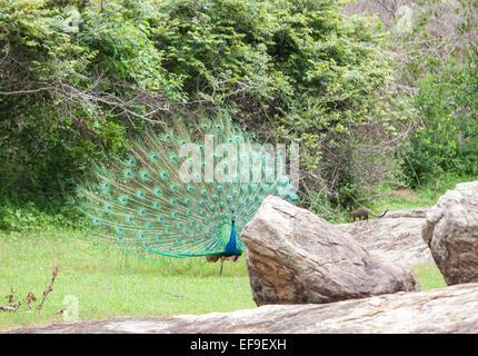 Peacock at Yala National Park,Sri Lanka. - Stock Photo