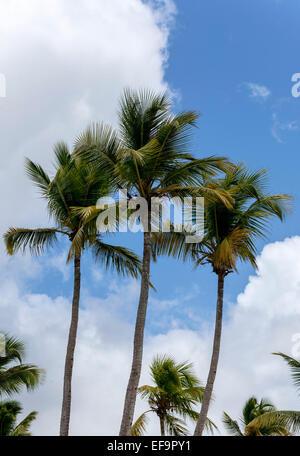 Cocos Nucifera Palms in Santo Domingo - Stock Photo