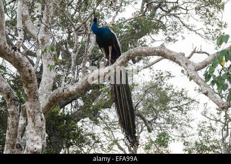 Peacock in tree at Yala National Park,Sri Lanka. - Stock Photo