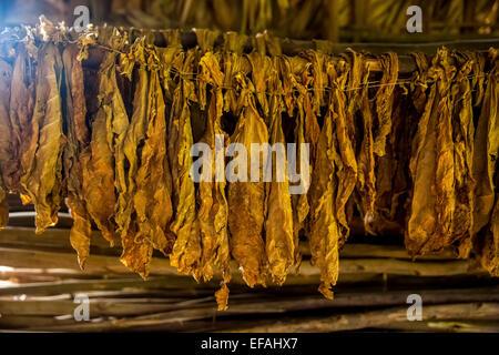 Drying tobacco leaves in a tobacco barn, tobacco farm, Vinales Valley, Viñales, Pinar del Rio Province, Cuba - Stock Photo
